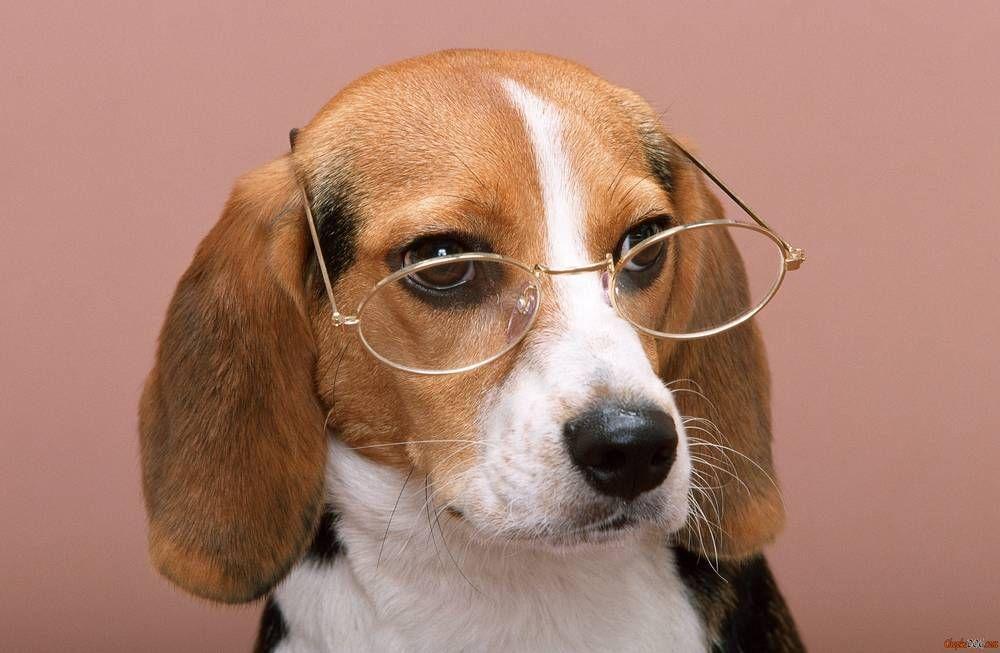 Beagle In Glasses Beagle Dog Cute Beagles Beagle