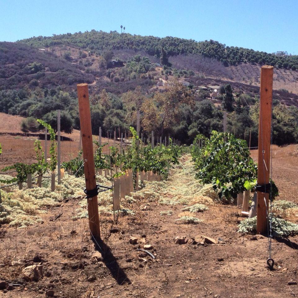 Keys Creek Vineyard in North San Diego County. The Petite