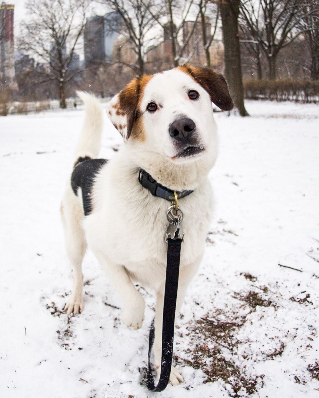 Andy Beagle Mix 3 Y O Central Park New York Ny He Comes