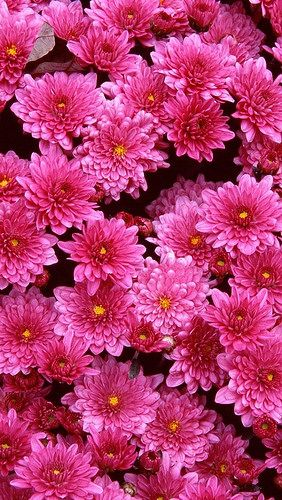 Pretty Pink Chrysanthemums