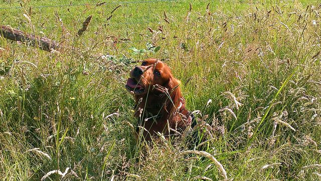 Alfie, having a breather in the meadow grass at Mornings Mill Farm.