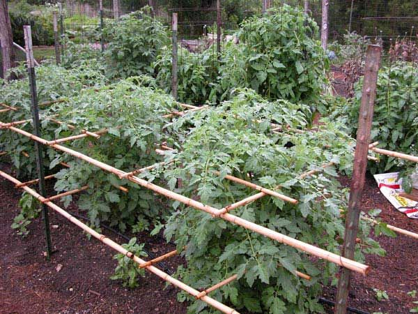 Tomatoes Supported By Metal T Stakes And Lashed Bamboo 400 x 300
