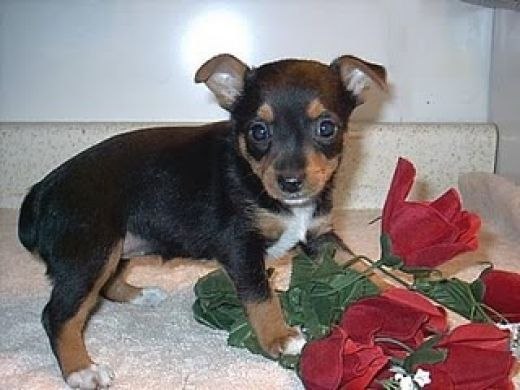15 Tiniest Dog Breeds.  Torkie.  weight 5 lbs to 7 lbs