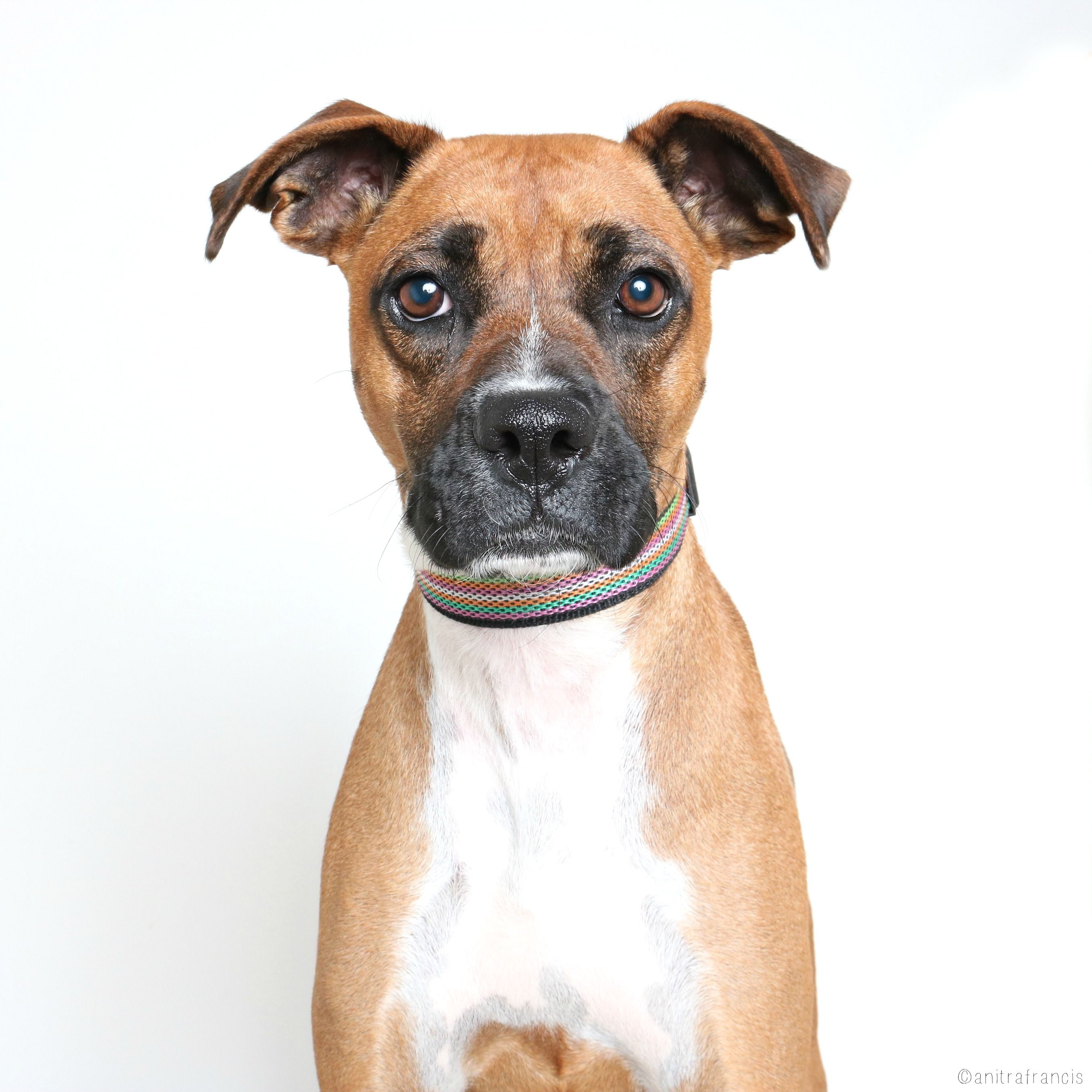 Boxer dog for Adoption in Eden Prairie, MN. ADN516623 on