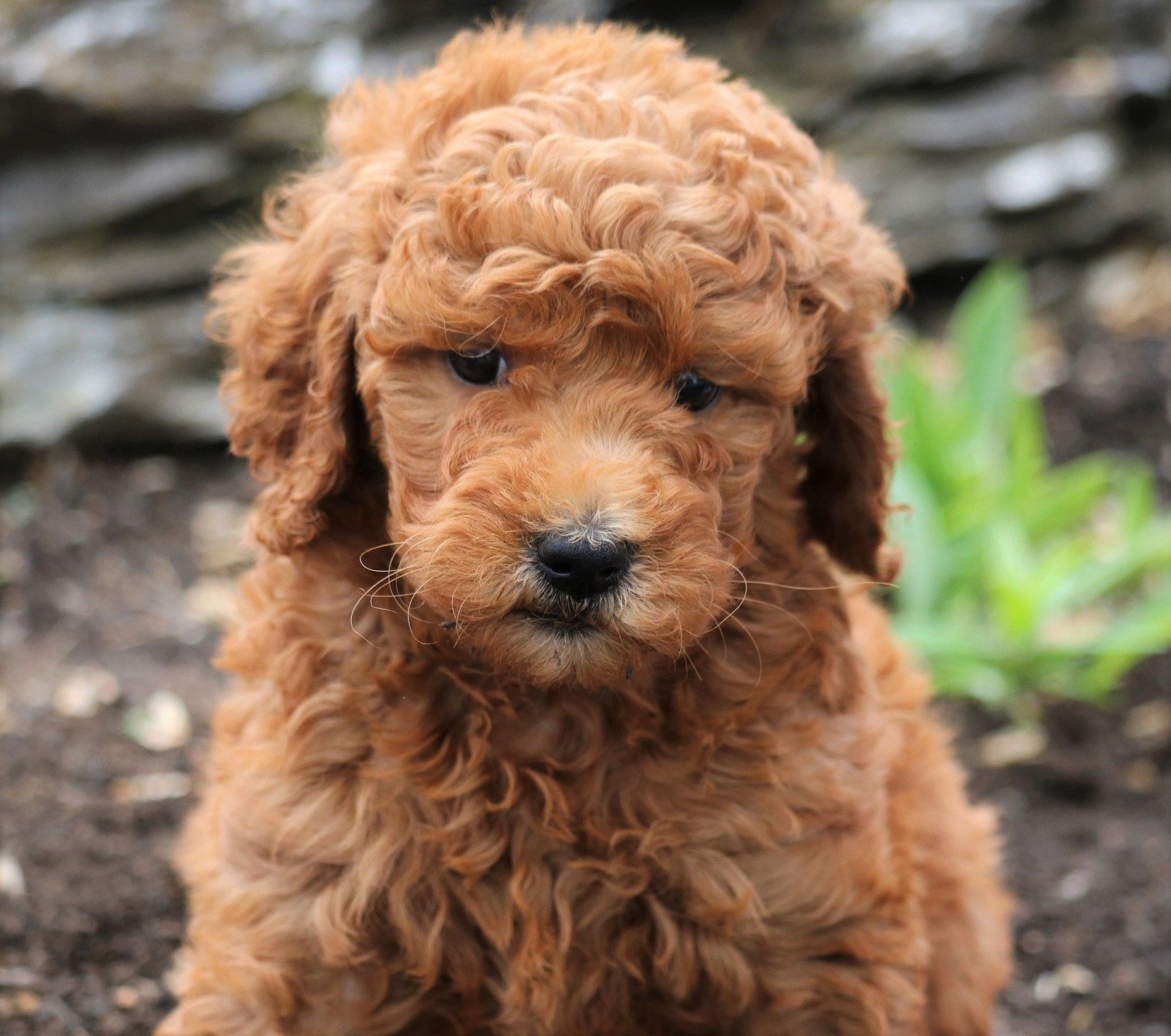 Goldendoodle puppies for sale goldendoodle puppy