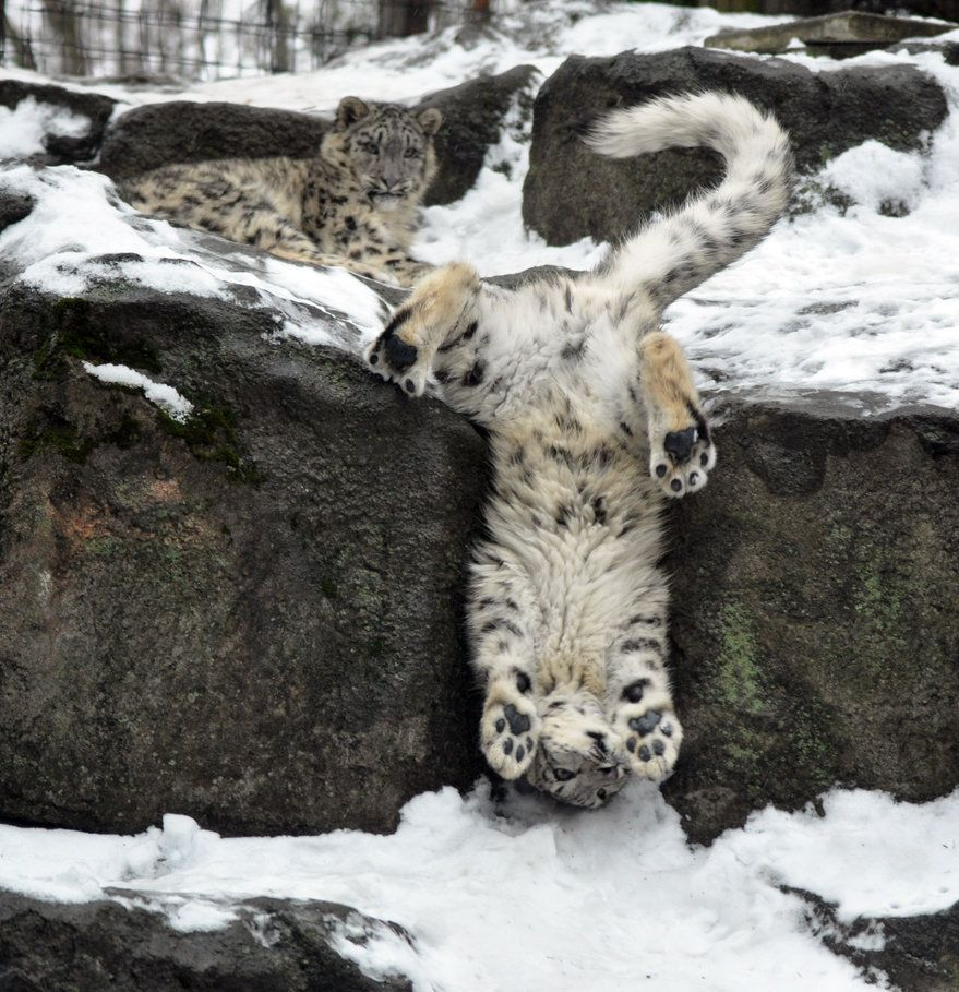 Snow Leopard Cubs ~ At Rosamond Gifford Zoo in Syracuse, New York, USA.  (Photo By: HecklingHyena via deviantART.)