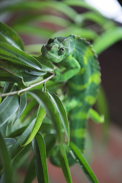 10bullets:  Chameleon: Bristol Zoo by Danni Davies. on Flickr.