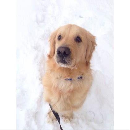 Ooohhh That Face Golden Retriever Retriever Dogs