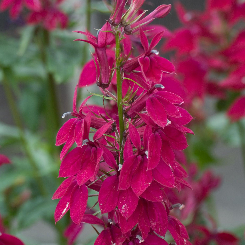 Lobelia Speciosa Fan Burgundy Dobbies Garden Centres Plants
