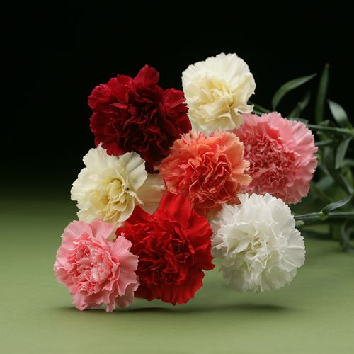 Rio Carnations Carnations Flowers Flower Garden