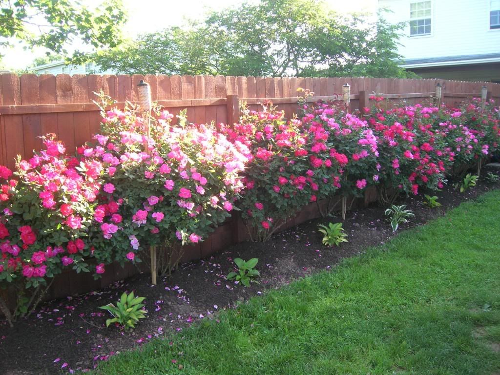 Red Pink Knockout Roses Rose Garden Design Rose Garden