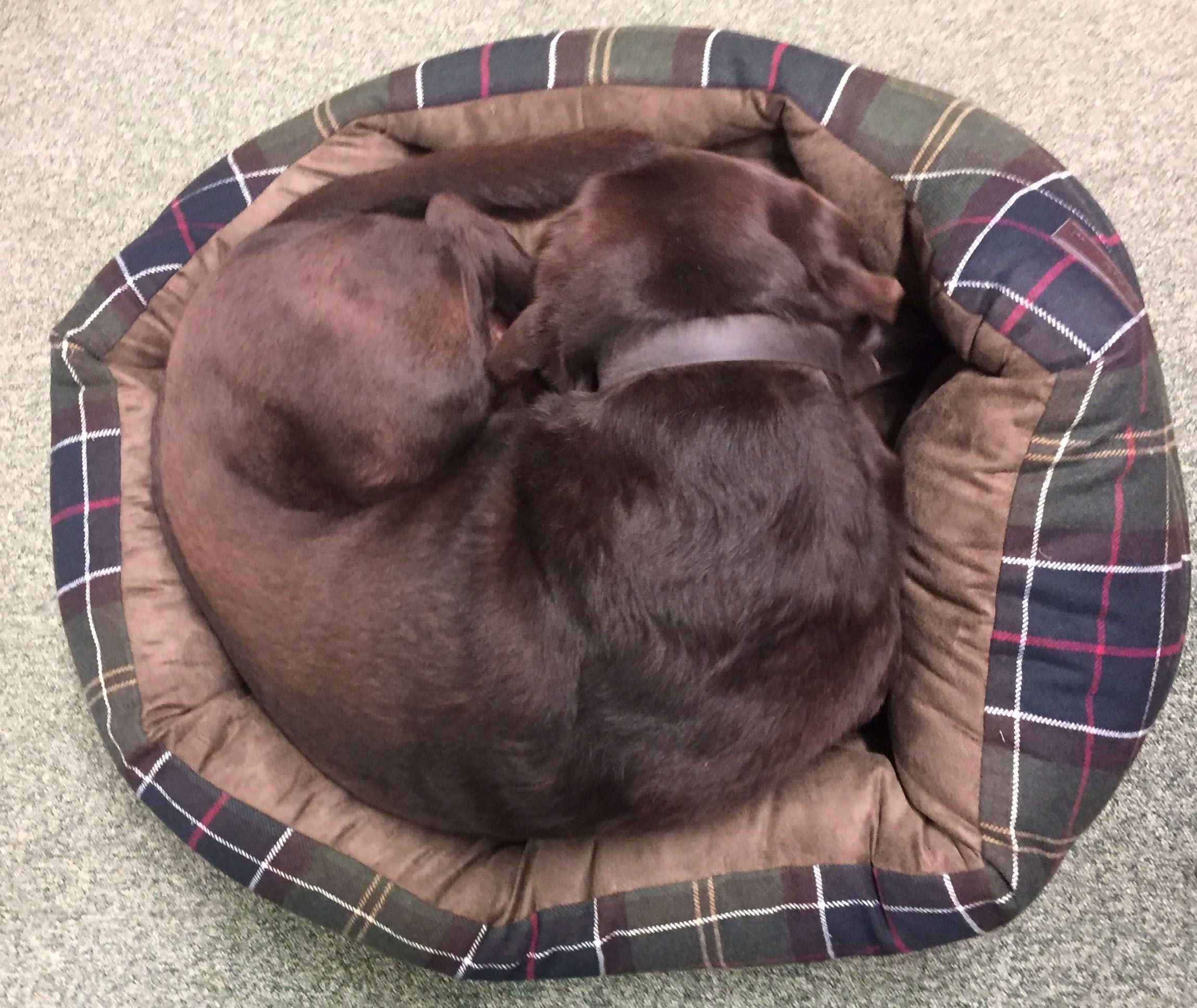 After Working At My Shop For 7 Years Benji Suddenly Decides To Show A Customer How A Chocolate Lab Fits Into A 30 Inch Barbour D Dog Bed Chocolate Lab I Shop