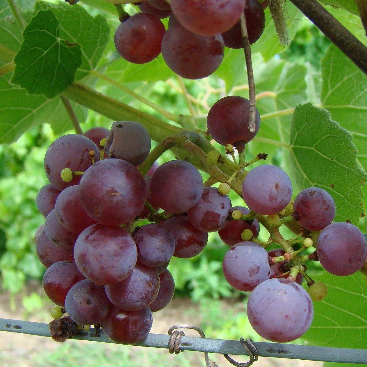 Growing Grapes, Grape Vines, Farm Gardens