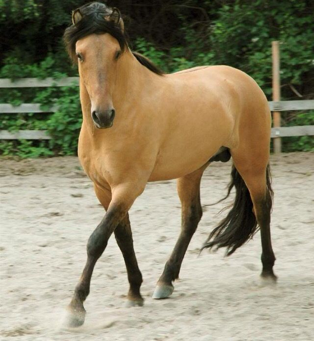What does a pinto horse look like