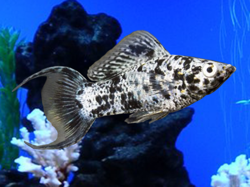 Pair Of Silver Marble Lyretail Sailfin Molly Price 2 56 Gbp Worldwide Shipping Https Diapteron Co Uk Product Pair Of Silver M Molly Fish Fish Betta Fish