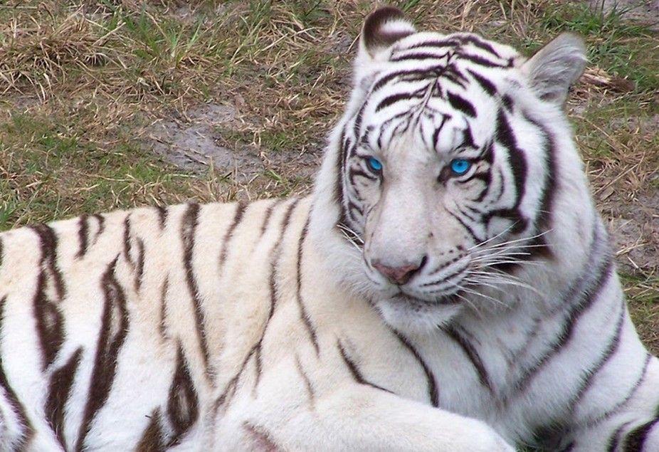 cute white tigers white tiger blue eyes viewbug com photos