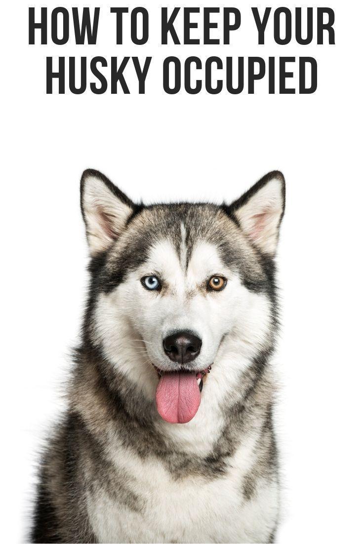 How To Keep Your Husky Occupied My Husky Husky White Husky