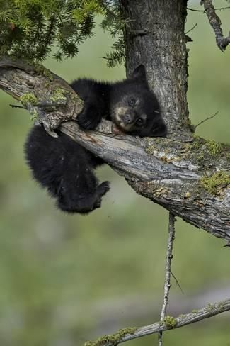 Photographic Print: Black Bear (Ursus americanus) cub of the year or spring cub, Yellowstone Nat'l Park, Wyoming, USA by James Hager : 24x16in