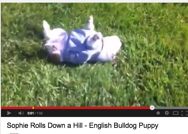 If You Re Feeling Stressed Just Watch This Bulldog Puppy Roll Down