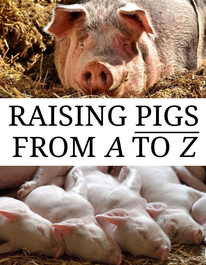 Raising Pigs from A to Z Hog farm, Raising farm animals