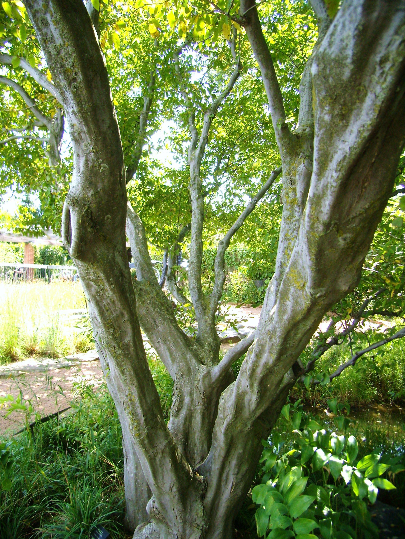 carpinus caroliniana | West Ave | Kannapolis | Pinterest