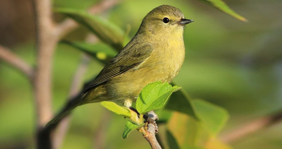 Orange Crowned Warblers Aren T The Most Dazzling Birds In Their Family But They Re A Useful One To Learn These Green Bird Backyard Birds Humming Bird Feeders