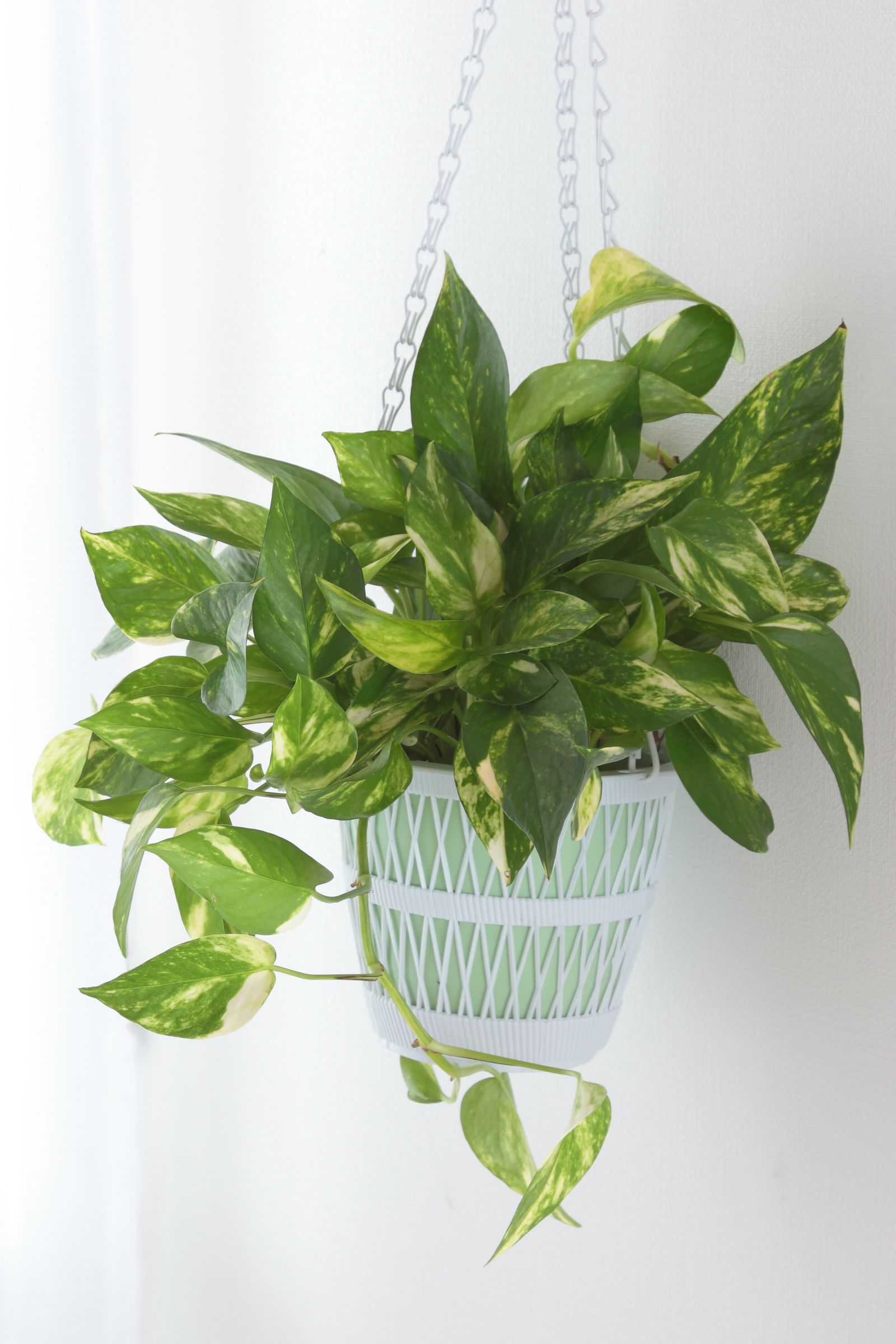 Pothosgoodhousemag Indoor Plants Bathroom Hanging Plants Indoor Indoor Plants