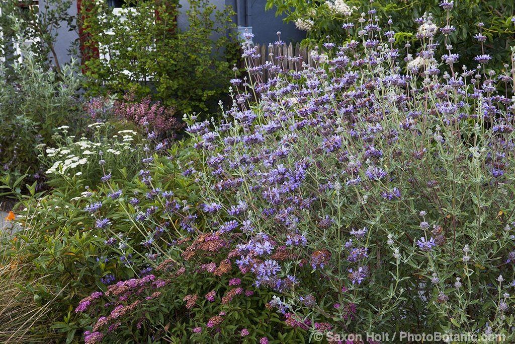 salvia clevelandii cleveland sage infront yard with california native plants heath delaney