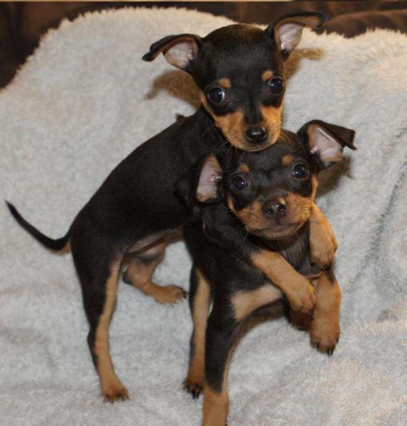 Doberman Pinscher - Loyal and Fearless | Google, Miniature pinscher and Dog