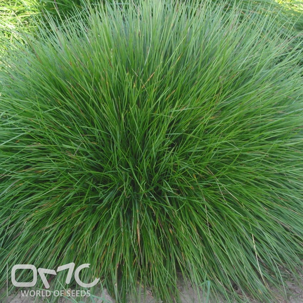 Chewing S Fescue Festuca Rubra Commutata 500 Seeds Ornamental Grasses Tall Ornamental Grasses Landscaping Plants
