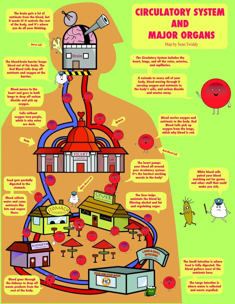 Circulatory System And Major Organs Map Infographic Health Human