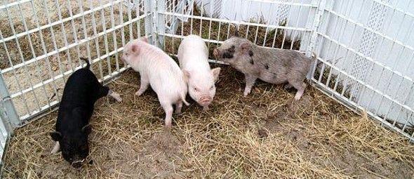 hard pig breeders