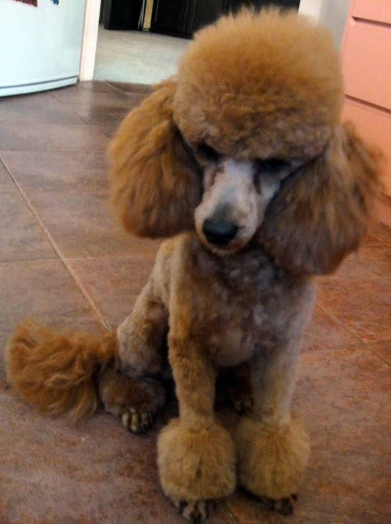 Toy Poodle Toy Poodle Puppies Long Hair Petsrank Com Dogs Inspiration Poodle Puppy Toy Poodle Puppies Toy Poodle