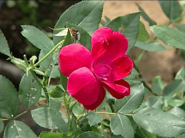 """14 Easy-to-Grow Plants to Put in the Ground This Spring: Deciduous shrub rose with 3-inch cherry red flowers from late April through frost.            Plant in rich, but well-drained soil; prune down to 12-18"""" in late winter        Plant in full sun        Water regularly until established; fertilize in spring        Extremely disease resistant variety        Height: 3-4 feet; Width: 3-4 feet        Hardy in USDA zones 4-9:         Zone 4: Plant in spring to pr..."""