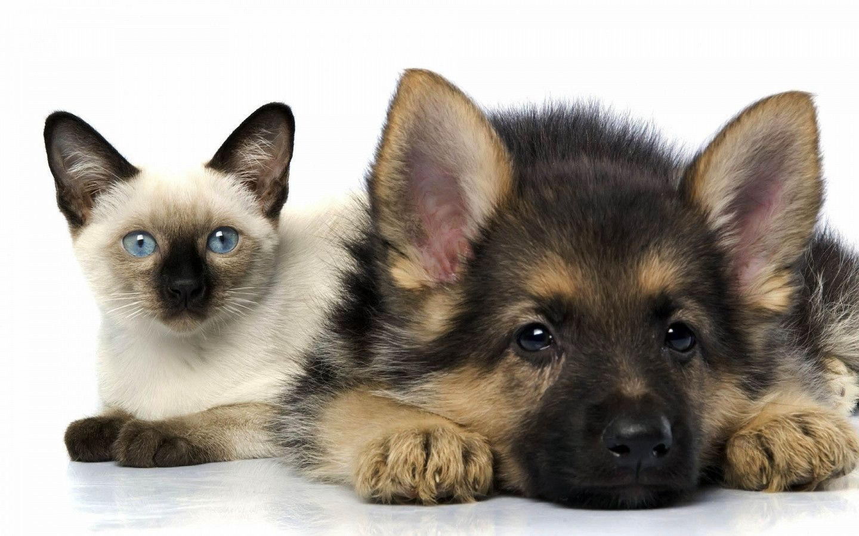 Dog And Cat Wallpapers Background For Desktop Wallpaper Anjing Kucing Shepherd