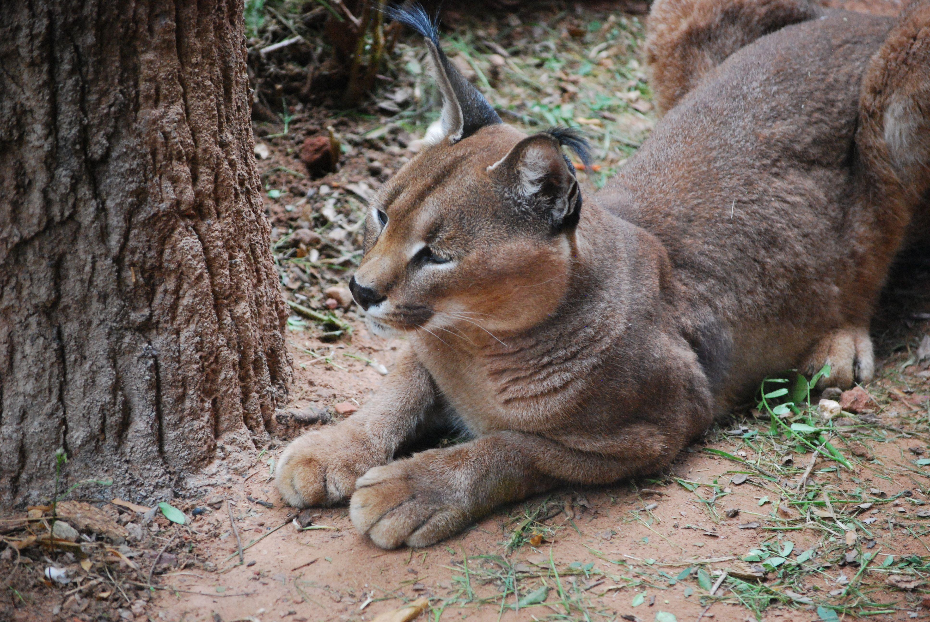 CRYPTO SQUAD USA: Big Cats of Oklahoma