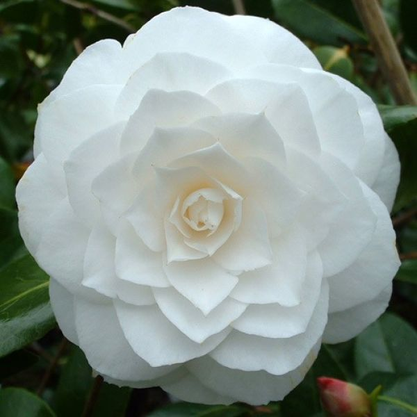 Camellia Japonica Varieties And Images Camellia Pretty Flowers Flowers