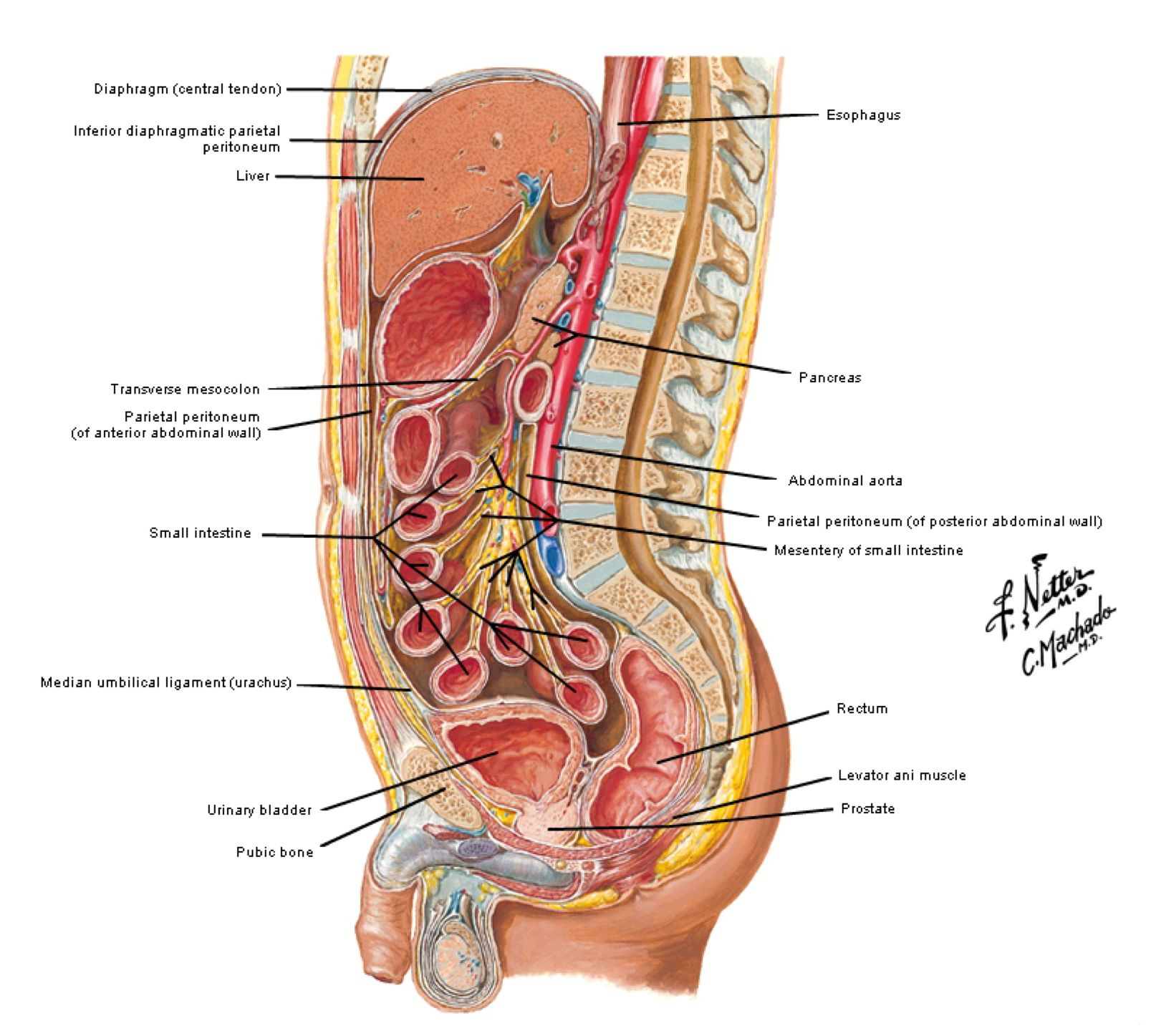 Human Abdomen Anatomy Places To Visit Pinterest Anatomy