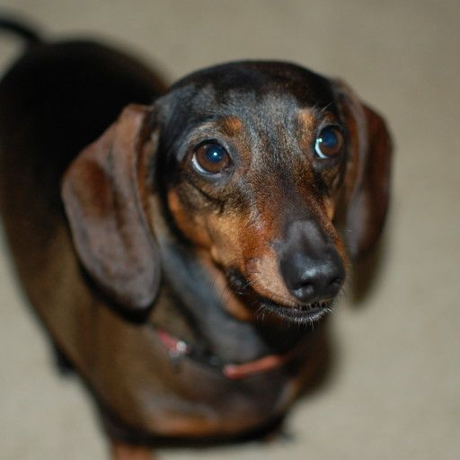 Learn About Housebreaking A Dachshund. Follow Our Proven