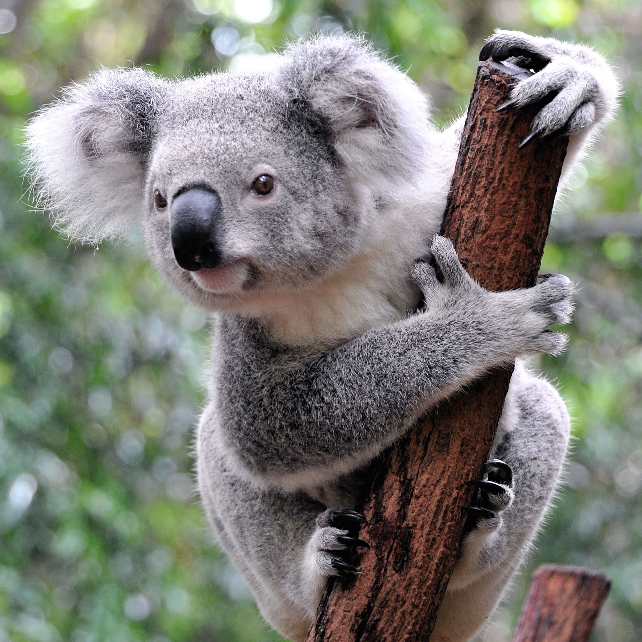 Curious Koala Tap to see more cute animal iPhone, iPad