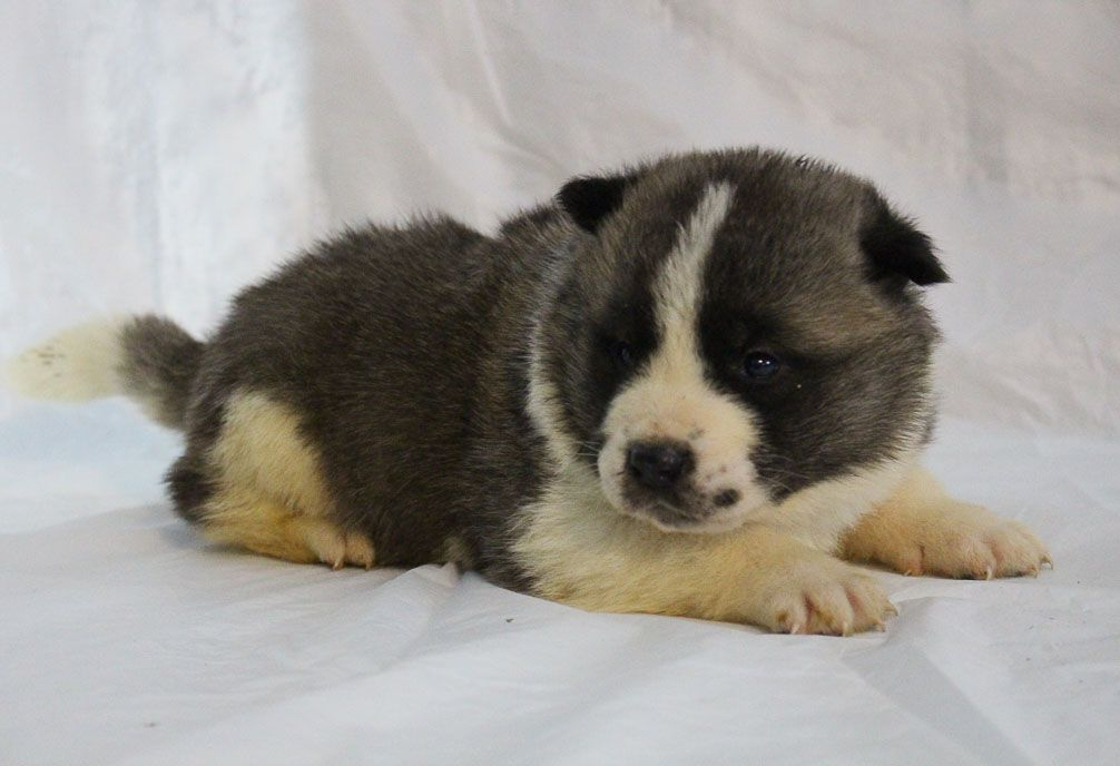 Landle A Male Akc Akita Puppy For Sale In New Haven Indiana