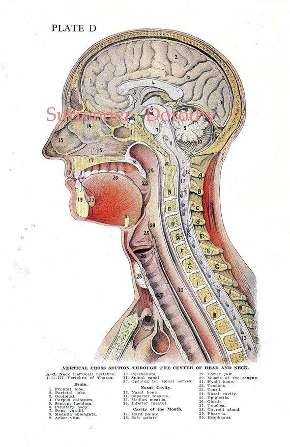 Cross-Section Human Head Brain Anatomy Lithograph Illustration To ...