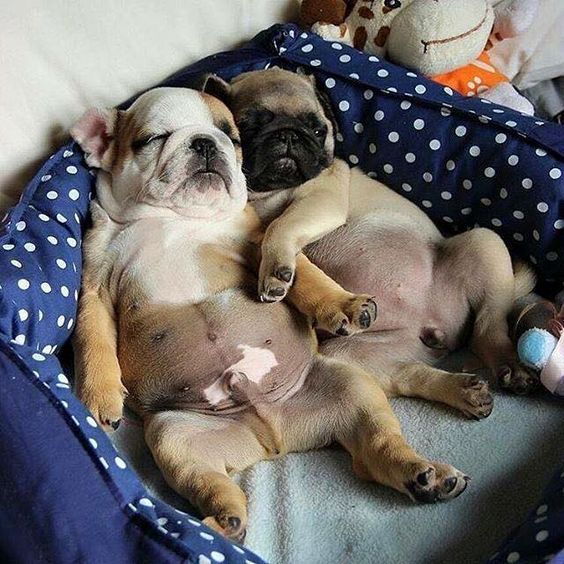 This Is Two Bulldogs And They Are Sleeping The Bed With One Other