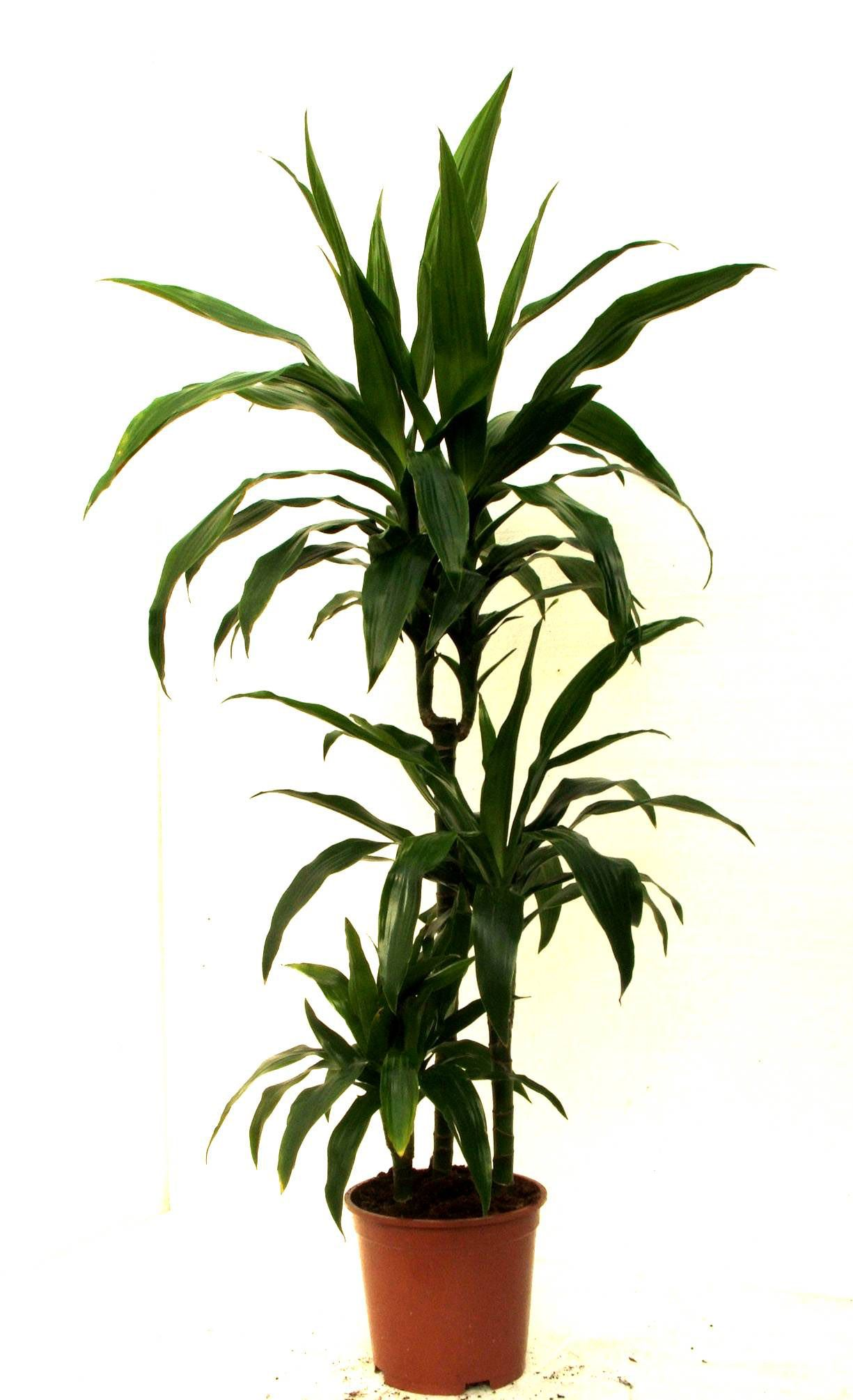 Dracaena deremensis 39 janet craig 39 eco friendly house for Plante dracaena