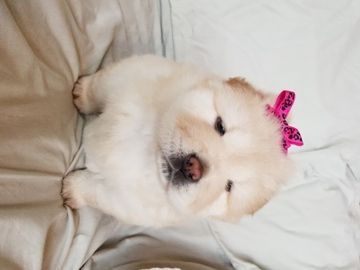 Litter Of 3 Chow Chow Puppies For Sale In Clifton Il Adn 47397