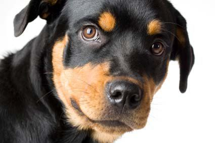 Rottweiler Names Male And Female Names For Rotties Rottweiler