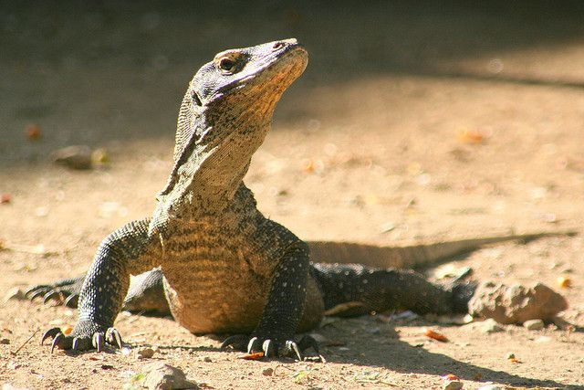 Pin by TopTenz Top 10 Lists on Animals | Pinterest |Cute Baby Komodo Dragons