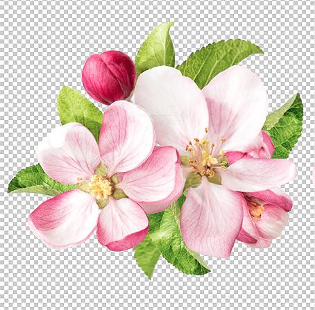 Apple Blossoms Apple Tree Blossoms Apple Flowers Apple Blossom Tattoos