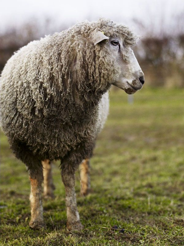 Farm School Oxford England Waitrose Kitchen Animals Sheep And Lamb Sheep Farm