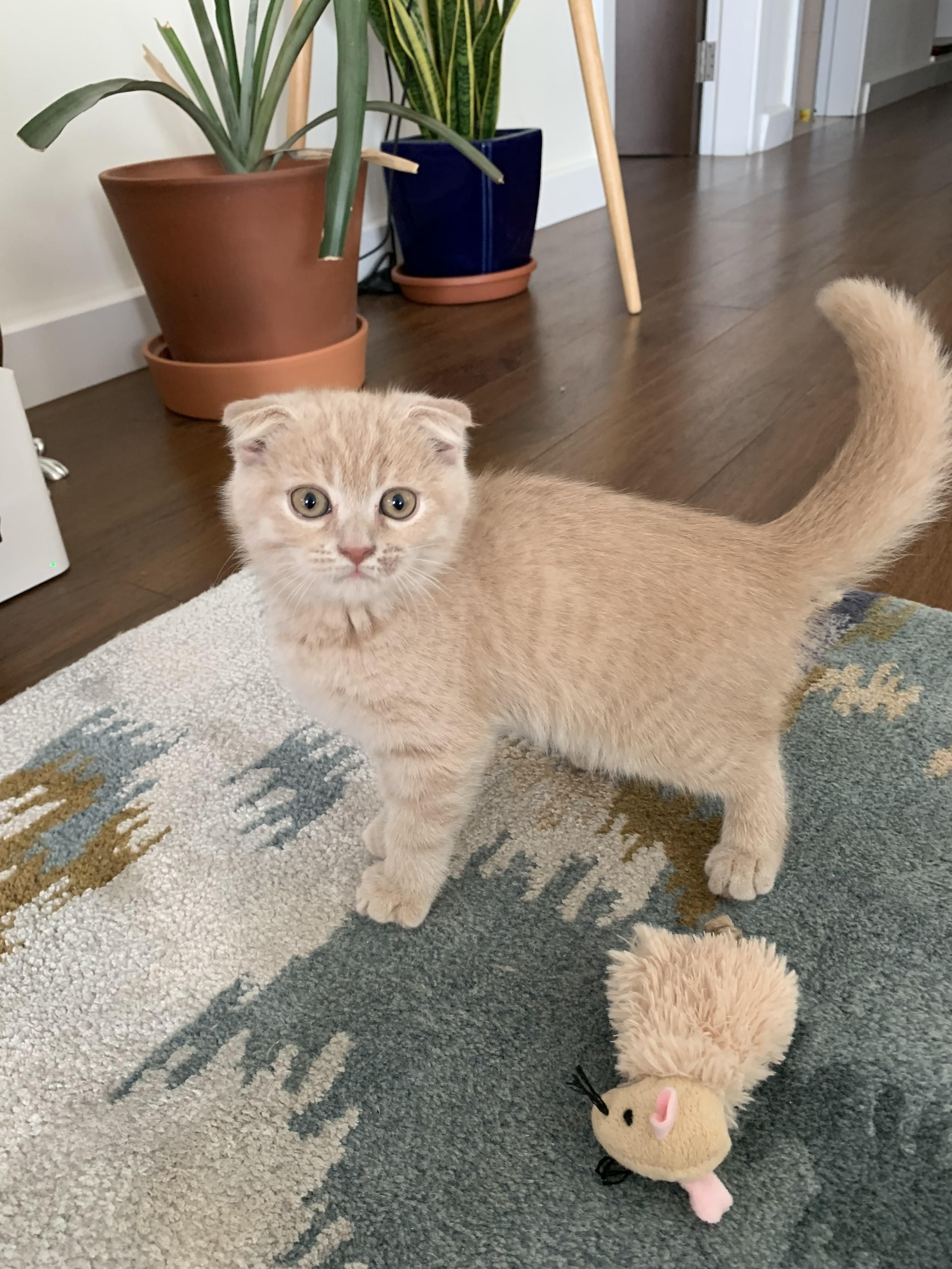 Scottish Fold Colors With Pictures